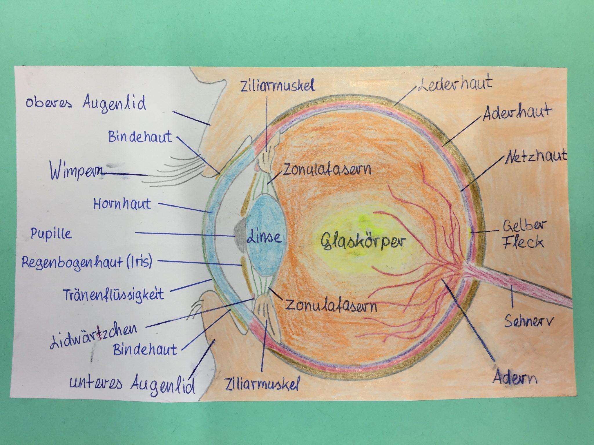 Auge Aufbau Grundschule